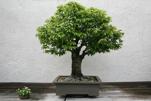 Большие деревья в домашних условиях 778