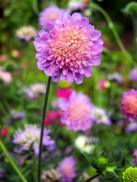Цветы короставник