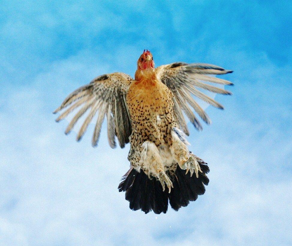 стенки, горки картинка летящая курица юрий, сам хорошо