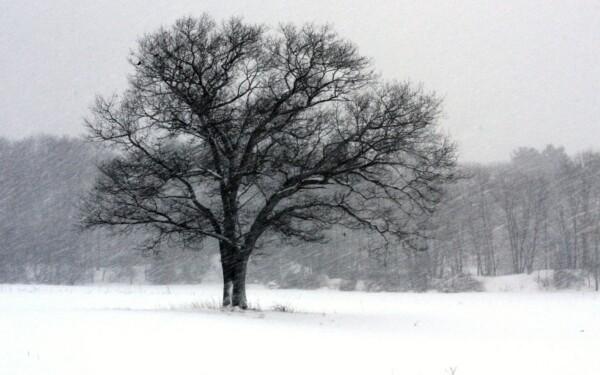 Дерево зимой...
