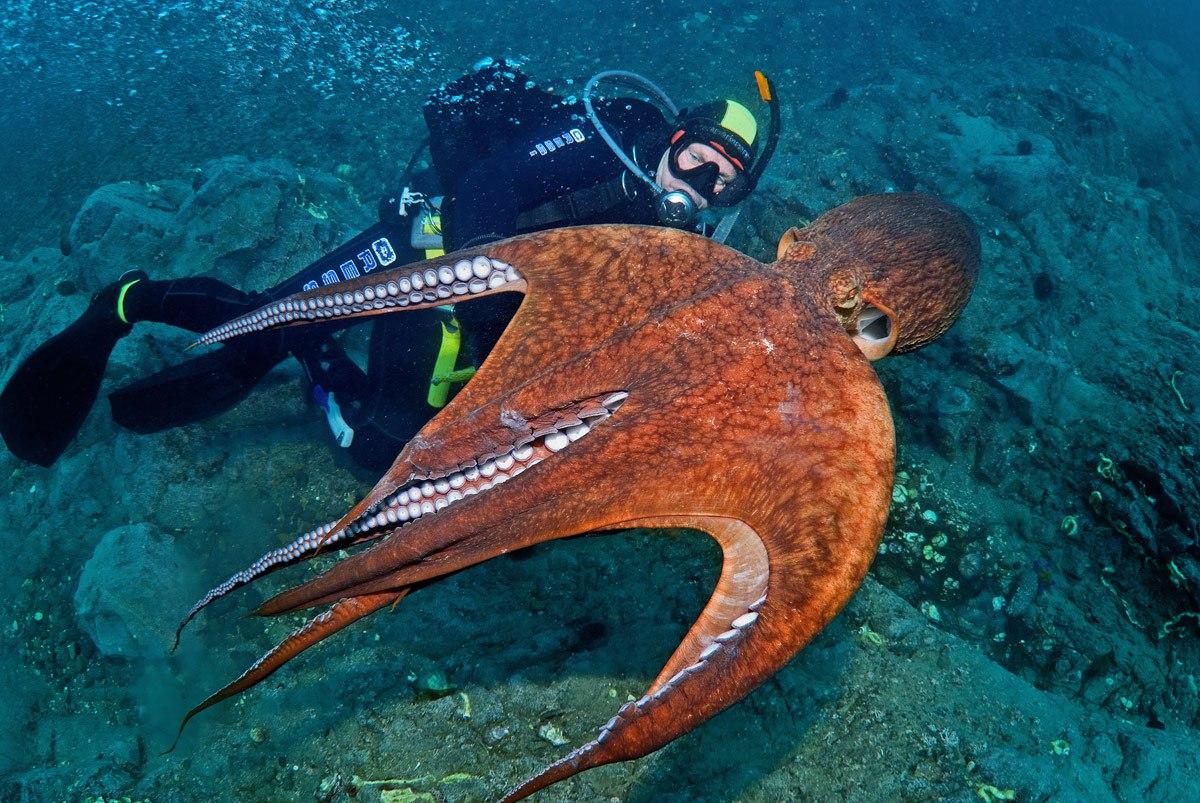 недалеко картинки большого осьминога буквально видит